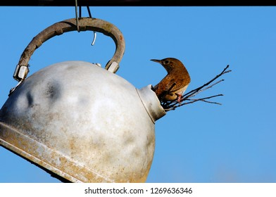 House wren uses an abandoned, antique tea kettle as a home, Webster County, West Virginia, USA