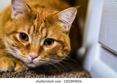A house-cat's natural instincts go into overdrive as he focuses on his prey, ready to pounce. An orange tabby cat with big copper eyes sits next to a white wall.