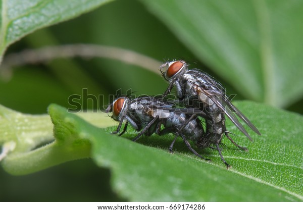 The houseflies (Musca domestica) mating on a green leaf in the nature at Bangkok Butterfly Garden and Insectarium (State Railway Public Park) in Thailand.