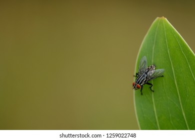 Housefly close up.