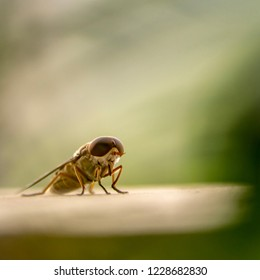 Housefly close-up.. tongue out for preying