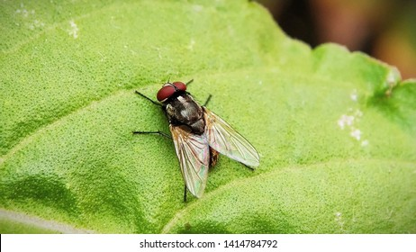 Housefly Drosophilia sitting on leaf of a plant, Isolated Macro Shot with Blurred background