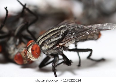 housefly in front of white background,Diptera, fly, bluebottle, housefly, Musca domestica Linn,