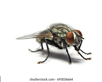 Housefly isolated on white background with shadow.