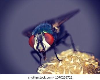 Housefly macro - Look at the camera