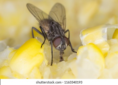 The housefly Musca domestica. Common and burdensome insect in homes.