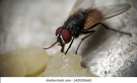 Housefly Musca domestica Extreme Macro shot sucking and eating waste rice, Closeup shots showing its mouth eyes front legs- Indian Makkhi