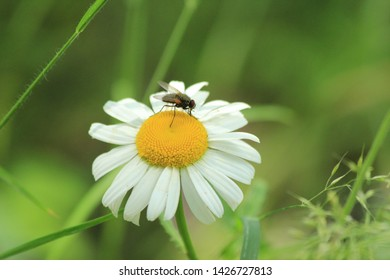 Housefly (Musca domestica) on chamomile flower and cornflower