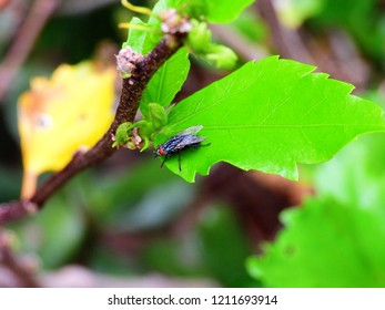 Housefly (Musca domestica) resting on a leaf.