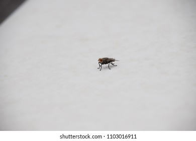 Housefly on white surface
