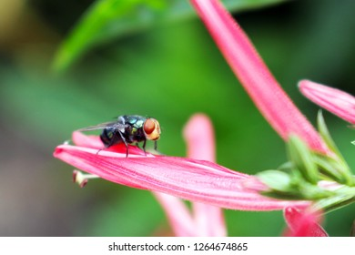 Housefly Perched on Pink Flower Petal, Close-up View with Green Nature Background