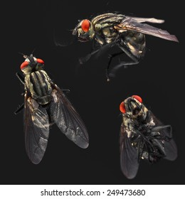 Housefly set on black background