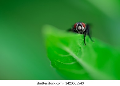 Housefly is sitting on a leaf, Macro photo, close up, insect,  Musca domestica