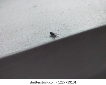 Housefly in a white wall background