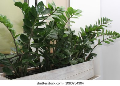 Household concept of takes care of indoor plants Zamioculcas. Homemade plant Zamioculcas in a large pot plant stands in the window.
