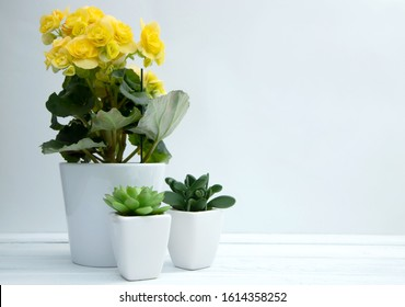 Household flowers, yellow blooming begonia and succulents nearby stand on a white wooden table. Care and breeding of a home garden. Copy space