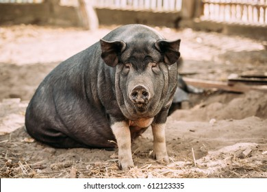 Household A Large Black Pig In Farm. Pig Farming Is Raising And Breeding Of Domestic Pigs. It Is A Branch Of Animal Husbandry. Pigs Are Raised Principally As Food (pork, Bacon, Gammon).