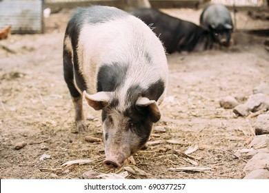 Household A Large Pig In Farm. Pig Farming Is Raising And Breeding Of Domestic Pigs. It Is A Branch Of Animal Husbandry. Pigs Are Raised Principally As Food
