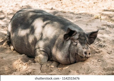 Household Pig Enjoys Relaxing In Dirt. Large Black Pig Resting In Sand. Domestic Pig.