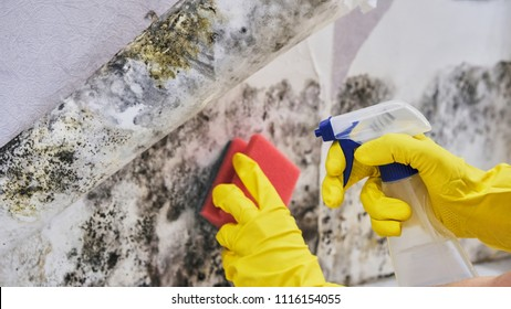 Housekeeper's Hand With Glove Cleaning Mold From Wall With Sponge And Spray Bottle