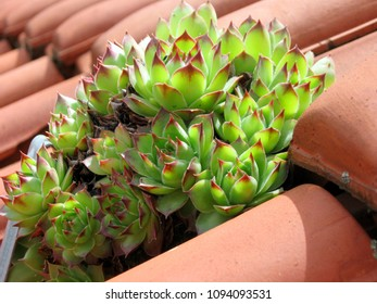 Houseleek plant in the tile roof of the house, no problem thrive and withstand the impacts of external environment, but is also very healing