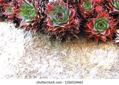 houseleek (sempervivum) on a bright wall, background with copy space