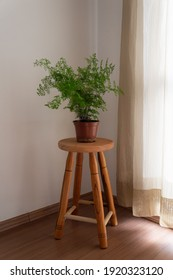 Houseplant Adiantum capillus-veneris isolated on top of a wooden stool, with curtains on background. Warm and cozy feeling, lifestyle. Maidenhair fern.