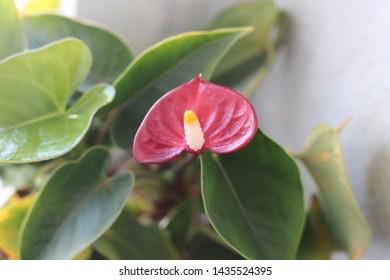 Houseplant Anthurium (Latin Anthúrium) - a genus of evergreens of the family Aroid, or Aronae (Araceae). Beautiful red flower bud