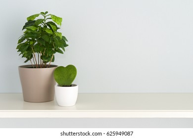 Houseplant. Arrangement of Coffee tree plant and heart shaped Ho ya plant planted in pots