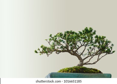 Houseplant, Beautiful Fresh Bonsai miniature tree in a flowerpot for garden decoration.