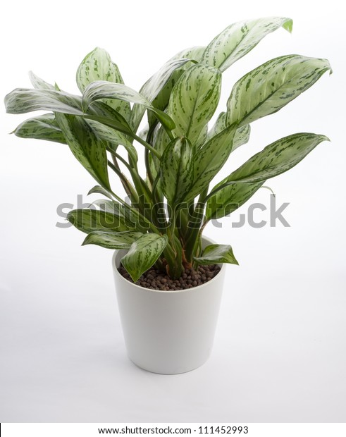 Houseplant - Chinese Evergreen A potted plant isolated on white