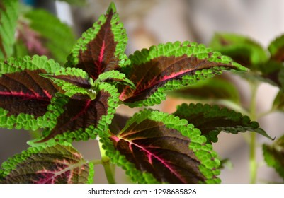 Houseplant coleus or colorful nettle indoor. Colorful green and purple Coleus leaves