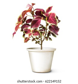 Houseplant coleus in flowerpot isolated on white background