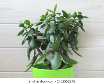 Houseplant crassula in a green pot. Floriculture.