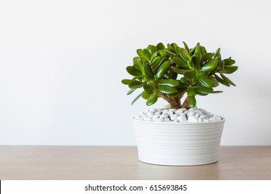 houseplant Crassula ovata jade plant money tree in white pot