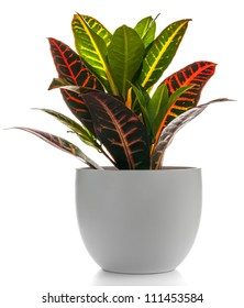 Houseplant - Croton A potted plant isolated on white