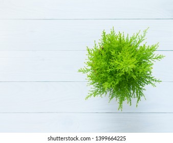 Houseplant Cupressus Goldcrest Wilma isolated on wooden white background