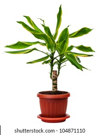 houseplant Dracaena fragans is isolated on a white background