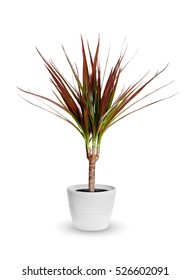 Houseplant - dracena marginata a potted plant isolated over white