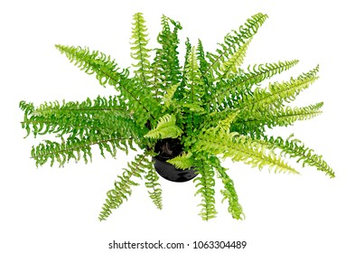 Houseplant fern with long green isolated on white background