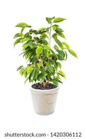 Houseplant Ficus Benjamina in flowerpot isolated on white background