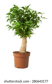 Houseplant ficus in a pot on white background. Isolated.