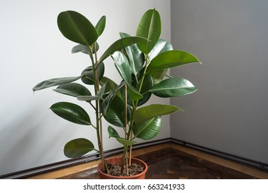 houseplant ficus rubber