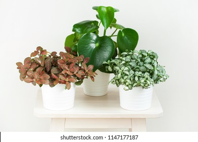 houseplant fittonia albivenis and peperomia in white flowerpot