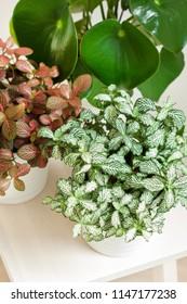 houseplant fittonia albivenis and peperomia in white flowerpot