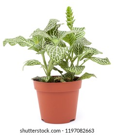 Houseplant fittonia isolated on white