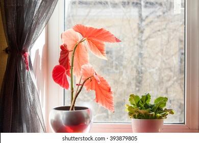 houseplant flowerpots on the windowsill, dusty glass, spring still life