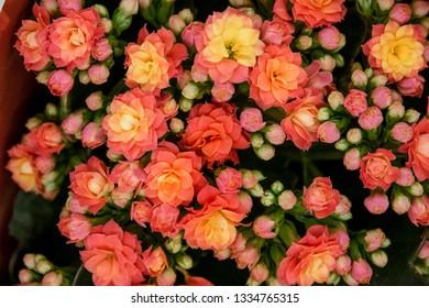 Houseplant, Kalanchoe flowers