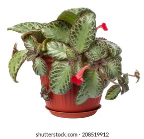 The houseplant a Koleriya is isolated on a white background