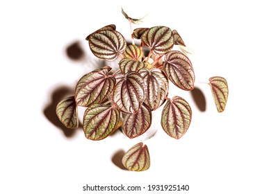 Houseplant Peperomia Piccolo Banda in pot, foliage nature background, close up on the light background. Flower shop concept